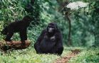 Number of Mountain Gorillas On the Rise Again